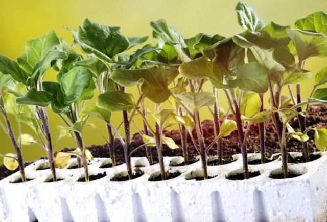 ростки баклажанов