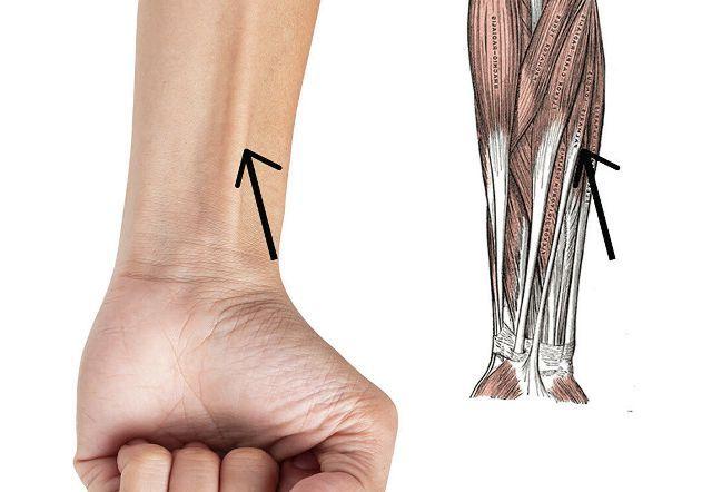 мышца руки