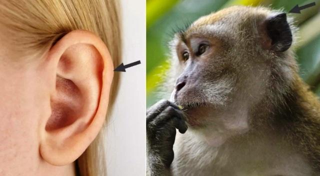 уши человека и обезьяны