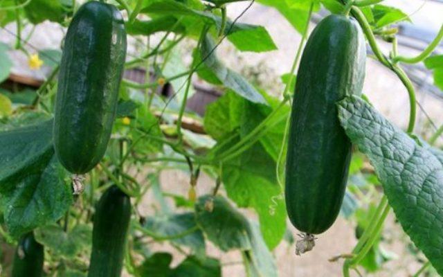 тепличные овощи