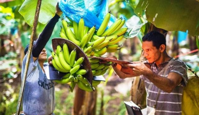 банановая гроздь