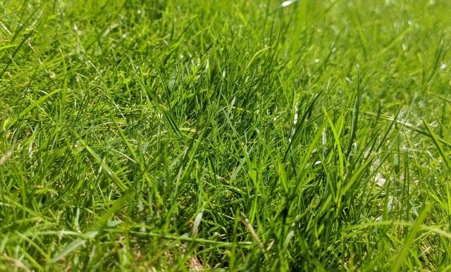 трава сеянная