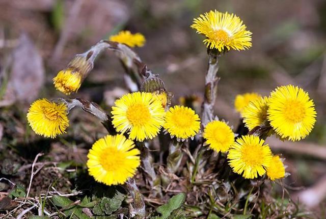 цветок мать-и-мачеха