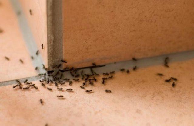 муравьиная миграция