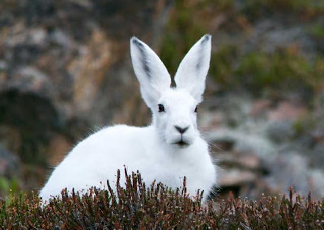 заяц-беляк на лежке
